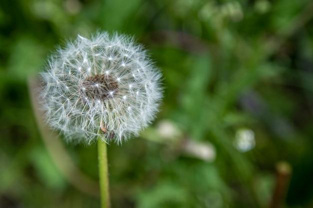 Semi di tarassaco che soffiano semi.