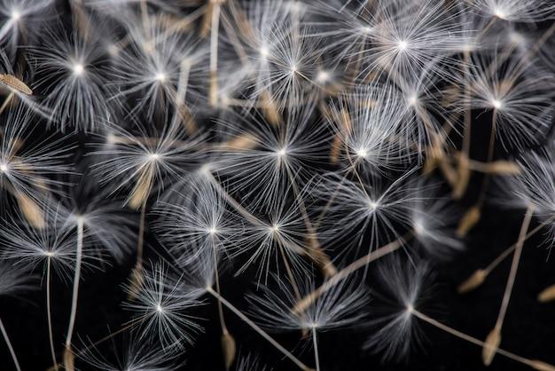 Semi di tarassaco molti semi di tarassaco su sfondo nero.