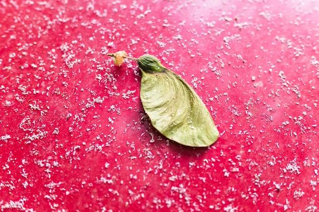 Semi di un acero bianco, acer pseudoplatanus, isolato su uno sfondo rosso con tracce di petali bianchi.