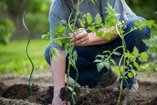 Senior uomo piantare pomodori nel suo enorme giardino, concetto di giardinaggio