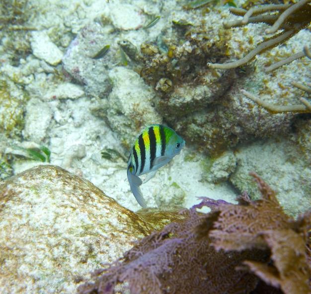 Sergeant major fish in great mayan reef