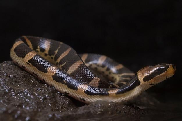 Serpente comune con la faccia a sbuffo