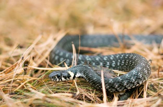 Serpente di erba in erba nella foresta