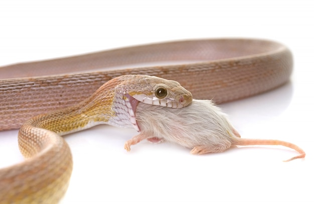 Serpente di mais che mangia il topo