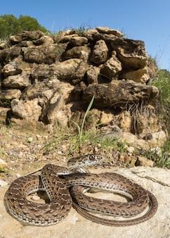 Serpente di montpellier (malpolon monspessulanus) femmina