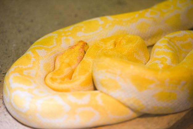 Serpente di pitone giallo sdraiato a terra