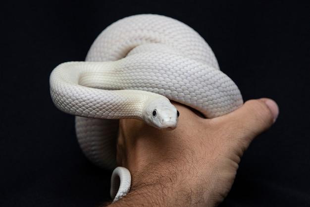 Serpente di ratto del texas sulla mano di un uomo