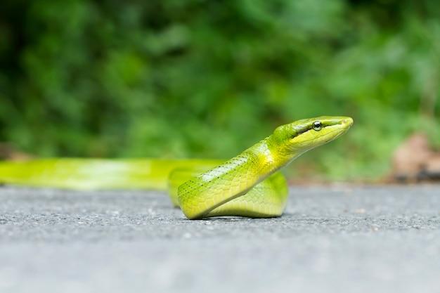Serpente, gonyosoma oxycephalum (colubridae)