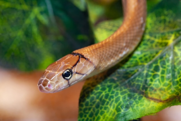 Serpente indonesiano dei gioielli o coelognathus subradiatus.