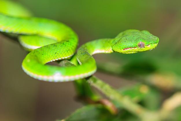 Serpente verde vipera