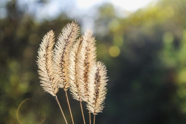 Setaria pumila, coda di volpe gialla, erba di setola gialla, erba di piccione o erba di tifa