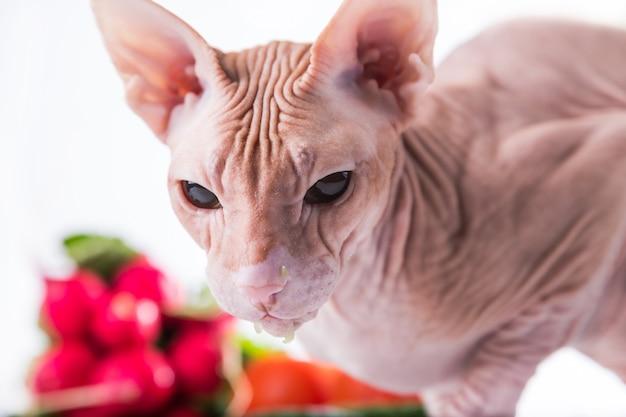 Sfinge di gatto che mangia cetriolo fresco