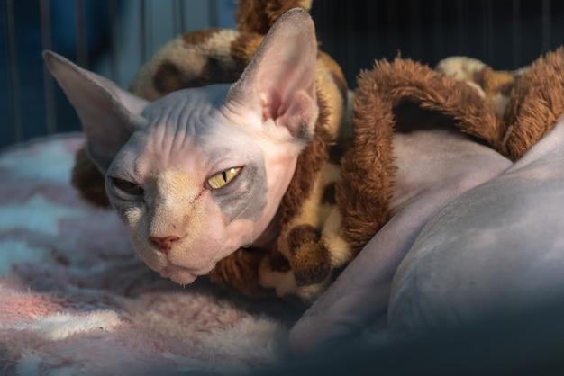 Sfinge gatto in coperta