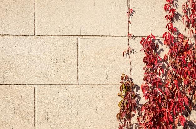 Sfondo autunnale di foglie rosse di ricci uva selvatica su uno sfondo di muro di pietra
