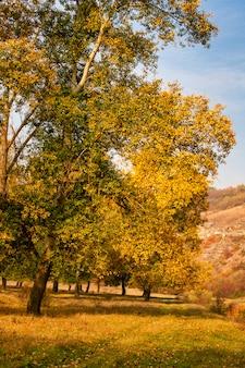 Sfondo autunnale, foglie ingiallite sui pioppi.