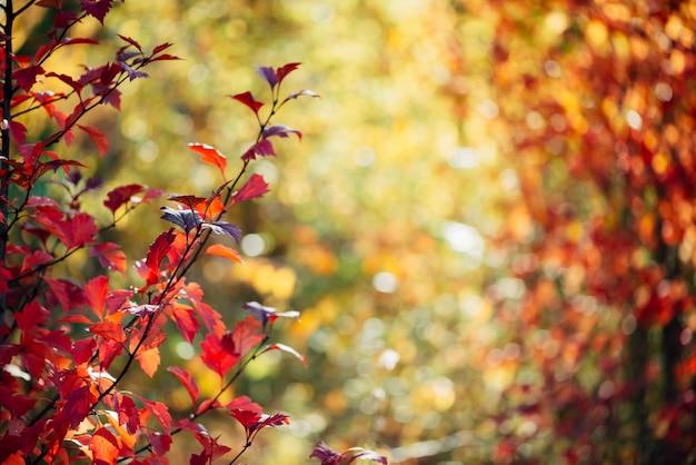 Sfondo autunno con foglie rosse alla luce del sole.