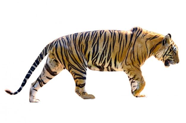 Sfondo bianco tigre isolare tutto il corpo