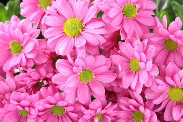 Sfondo di crisantemi rosa