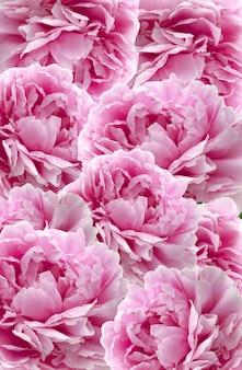 Sfondo di fiori di peonie. motivo floreale. muro di fiori.