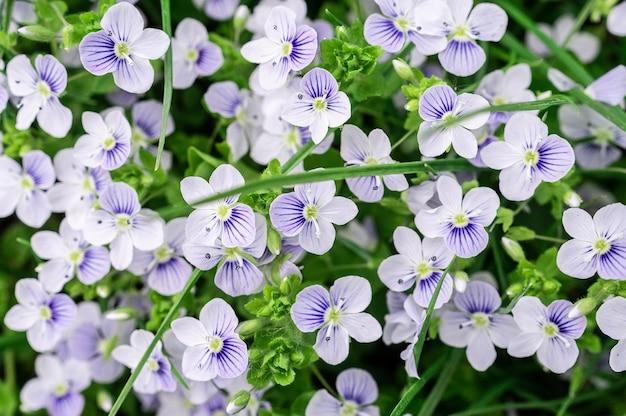 Sfondo di fiori di veronica blu