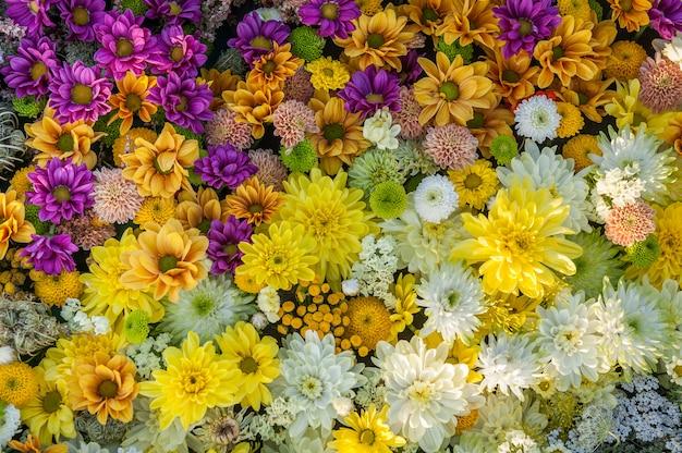Sfondo di fiori. fiori di crisantemo giallo, bianco e fucsia. vista dall'alto. sfondo vacanza.