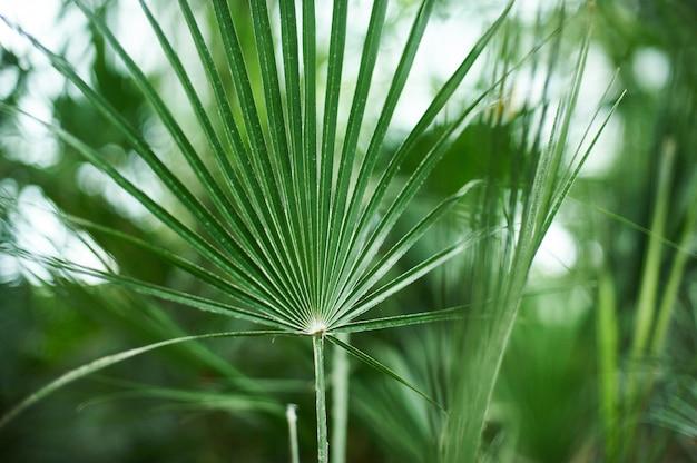 Sfondo di fogliame di palma verde, foglie di giungla tropicale