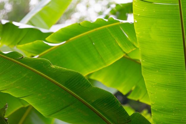 Sfondo di foglie di banana verde, foresta.