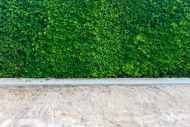 Sfondo di foglie verdi di ficus annulata o banyan tree leaf e sabbia