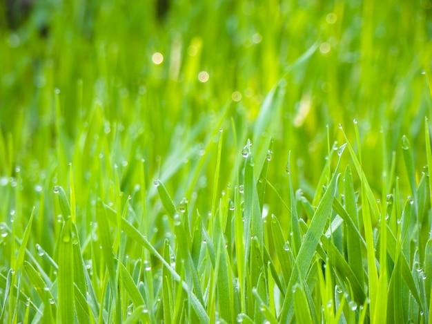 Sfondo di gocce di rugiada su erba verde brillante nel giardino.
