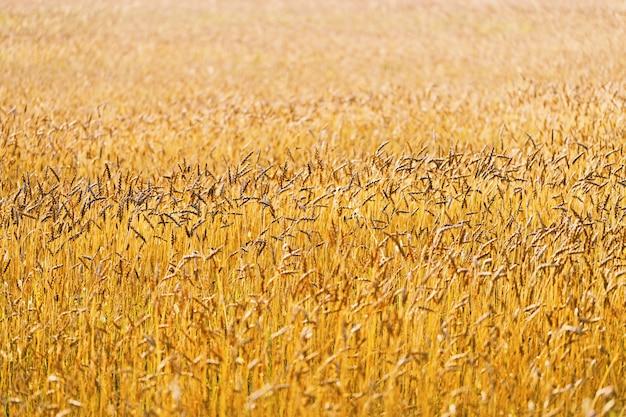 Sfondo di maturazione orecchie di campo di grano, campo coltivato.