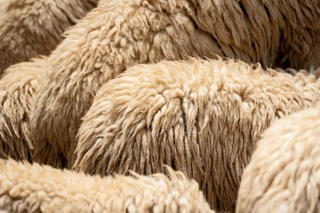 Sfondo di pelliccia di pecora