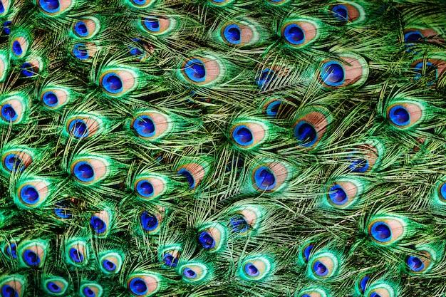 Sfondo di piume di pavone colorato