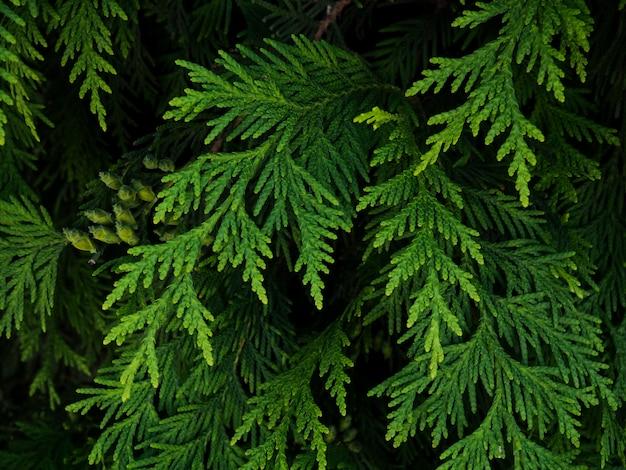 Sfondo di rami di albero di natale. natura sfondo naturale rami di thuja