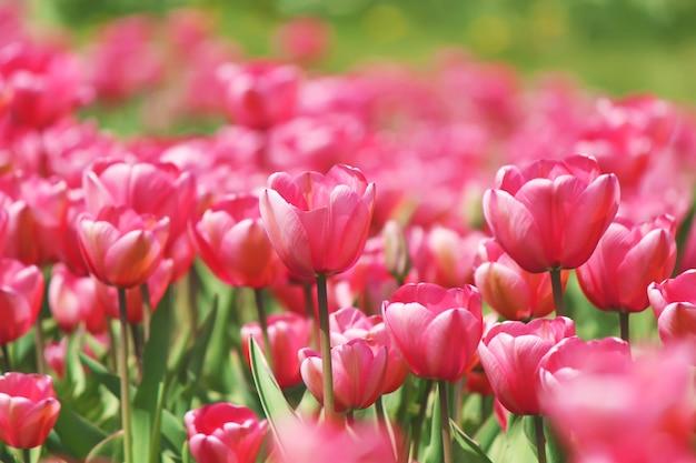 Sfondo di tulipani in fiore. fiori. messa a fuoco selettiva