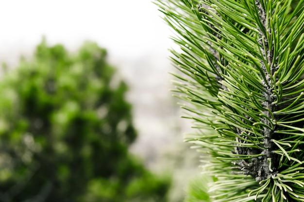 Sfondo foresta con conifera di fronte