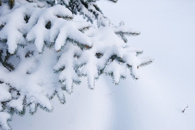 Sfondo invernale. una conifera in brina e neve