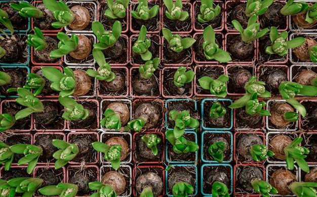 Sfondo luminoso con un sacco di texture di fiori di giacinto. fondo astratto di concetto con vegetazione naturale, fiori, lampadine.