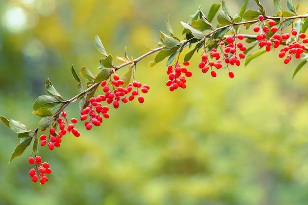 Sfondo naturale con ramo di crespino. piccole bacche rosse acide del crespino in natura.