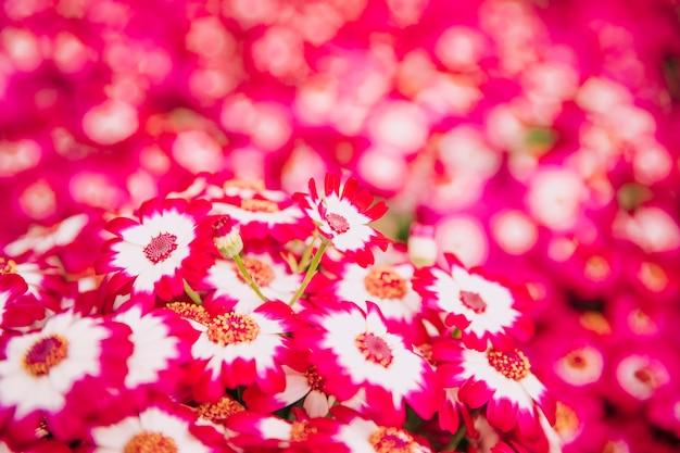 Sfondo naturale dei fiori di cineraria rosa brillante