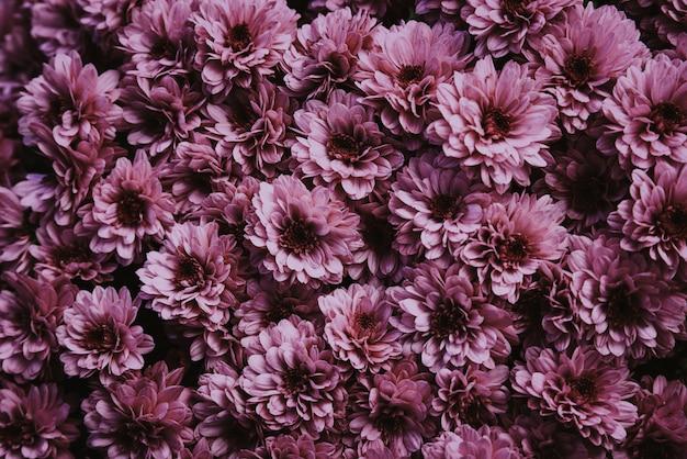 Sfondo naturale di crisantemi freschi
