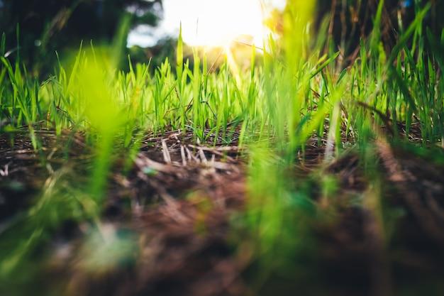 Sfondo naturale di erbe verdi lunghe con i raggi del sole al tramonto.