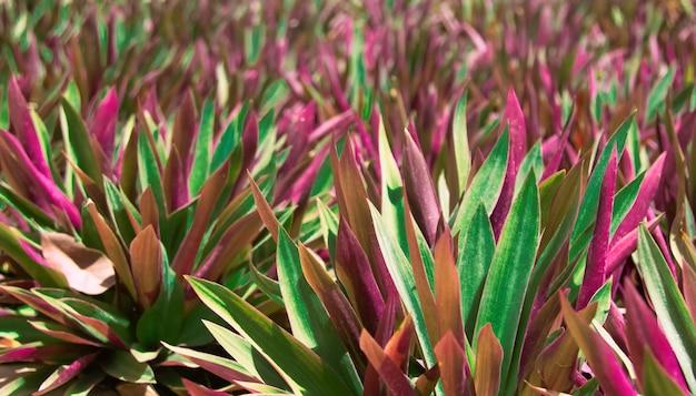 Sfondo naturale floreale colorato con sfocatura e profondità di campo di tradescantia spathacea o barca o pianta di giglio di ostriche