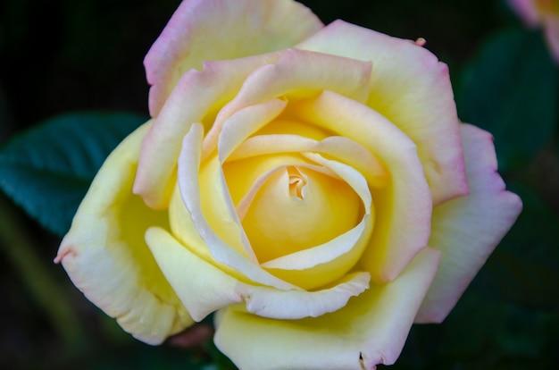 Sfondo sfocato di rose bianche