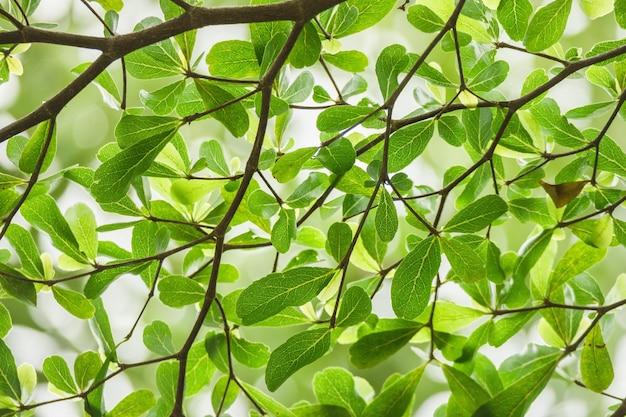Sfondo verde foglia di terminalia ivorensis albero o avorio costa almond tree.