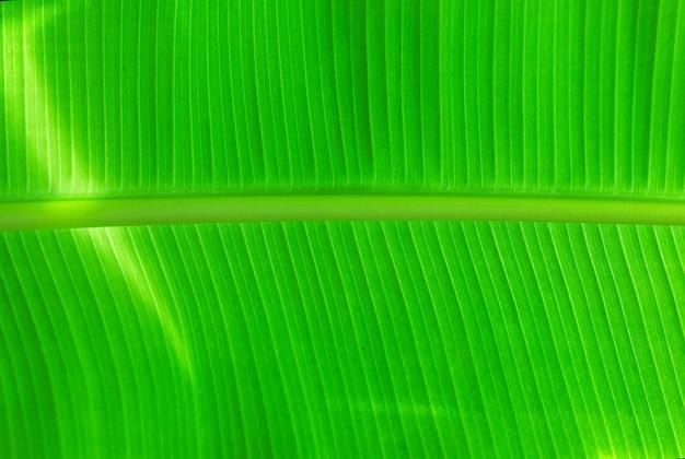 Sfondo verde naturale foglia di banana