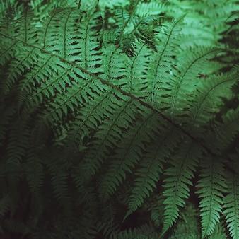 Sfondo verde scuro e consistenza delle foglie di felce