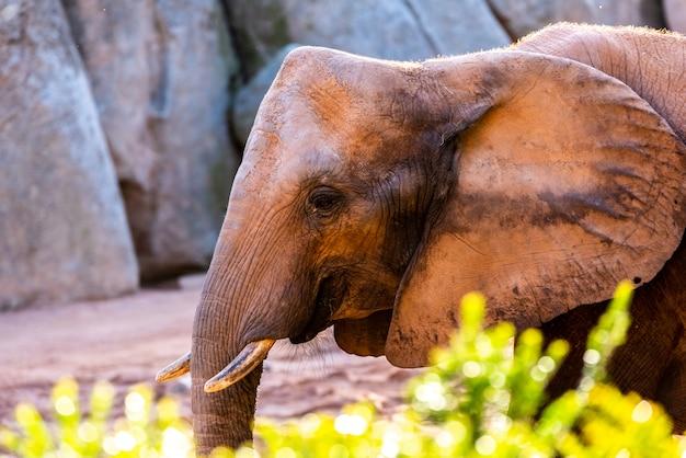Sguardo dell'elefante della savana africana, loxodonta africana, come camminate attraverso uno zoo.