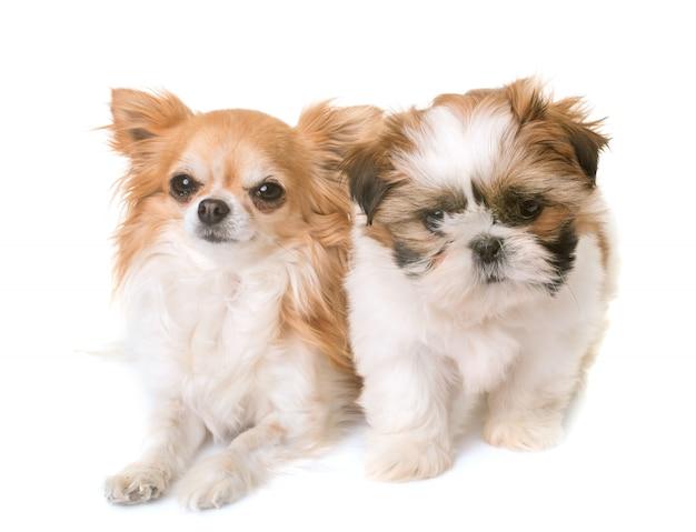 Shih tzu cucciolo e chihuahua