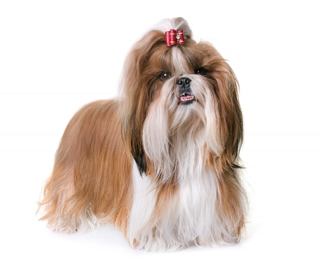 Shihtzu in studio