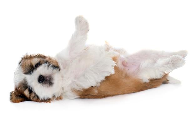 Shitzu cucciolo di rotolamento